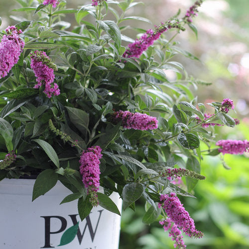 (1 Gallon) PINK DELIGHT Butterfly Bush - Charming Bright Pink, Fragrant Flower Clusters. Great as a Backround or Accent Plant.