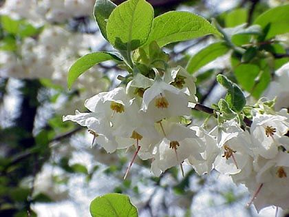 "(1 Gallon) Carolina Silverbell- Gorgeous broad, rounded shrub with drooping bell-shaped clusters , with white flowers (1/2"") that appear in April before or simultaneous to when leaves emerge"