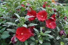 (1 Gallon) Hibiscus Cranberry Crush PP21984 Proven Winners® - Black Buds open to Glossy, Deep Scarlet Red, flowers with heavily overlapping petals. These blossoms cover the plant from Midsummer to Early Fall.