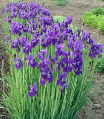(1 Gallon) Iris sibirica Caesar's Brother Siberian Iris - The Caesar's Brother Iris is a Dark Purple Blooms Rise Above Refined, Slender, Sword-Like Green Foliage.