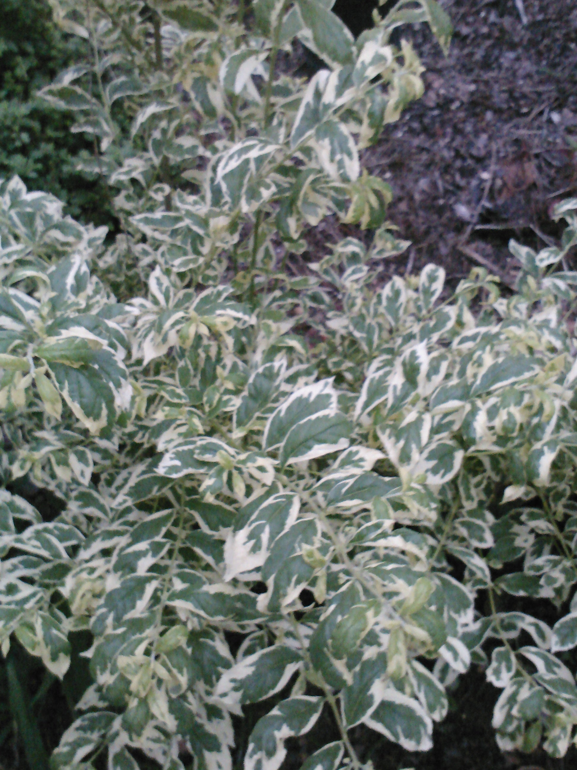 "(1 Gallon) Callicarpa ""DUET"" Gorgeous Foliage-Variegated, Very Pretty Foliage-Beautiful Variegated Leaves, Eye-catching Bright Purple Berries."