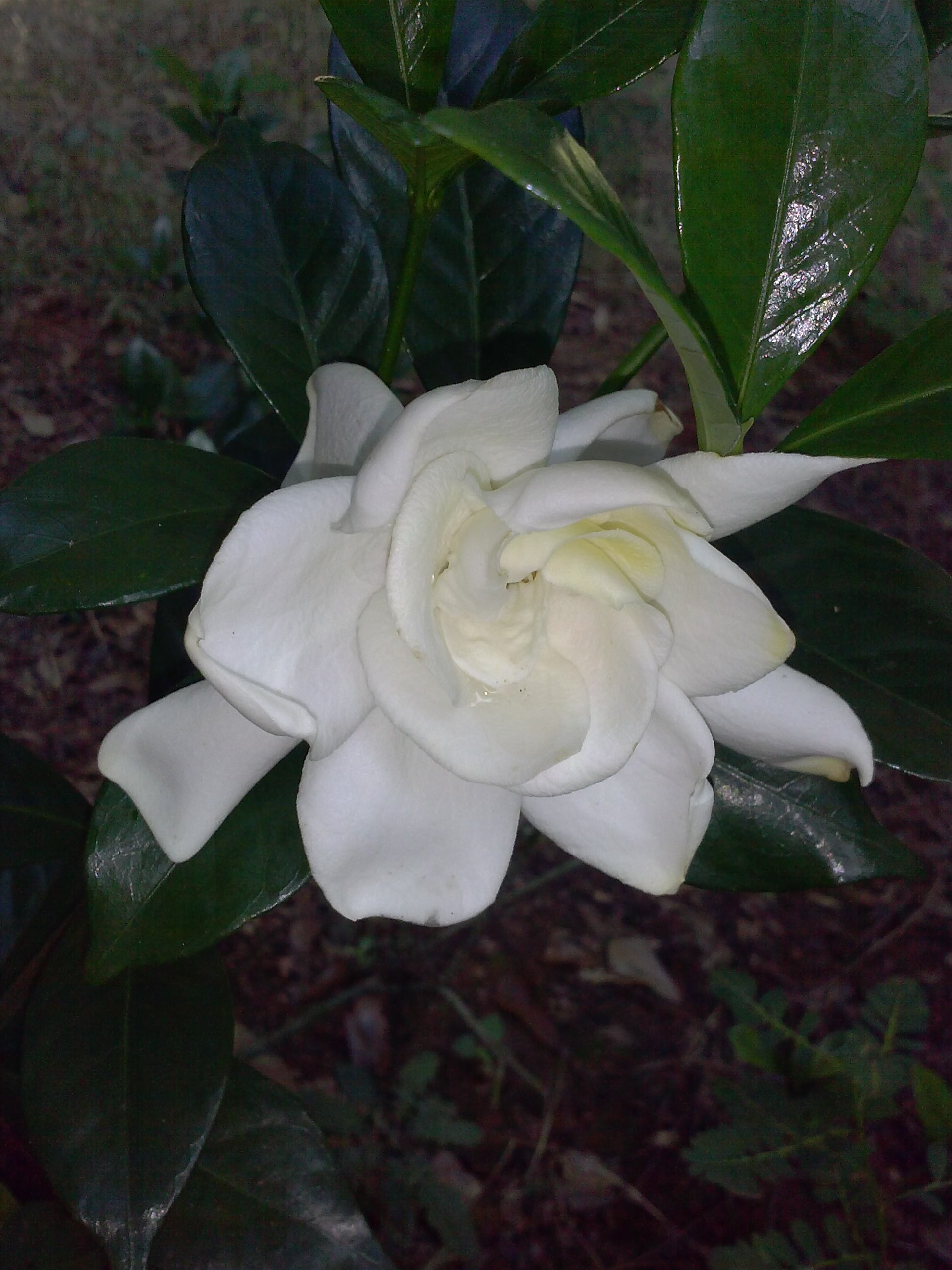 AUGUST BEAUTY GARDENIA- Intense Fragrance, evergreen, long blooming season PIXIES_DUD