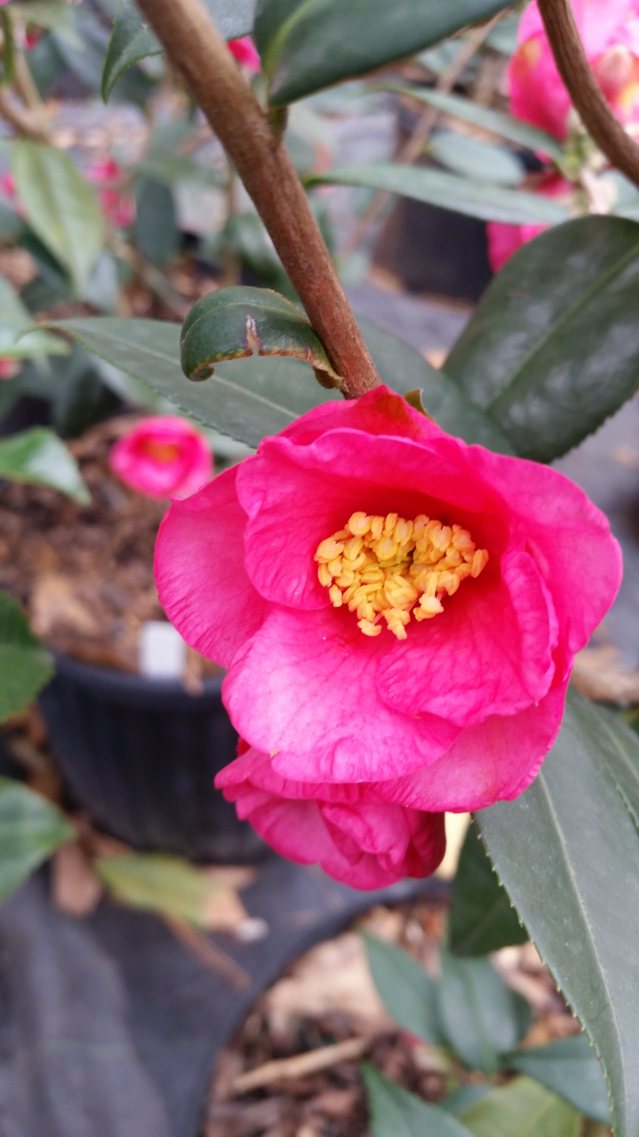Camellia Crimson Candles- small bright rose-red single flowers, buds look like red candles and are heavily budded, producing tons of blooms