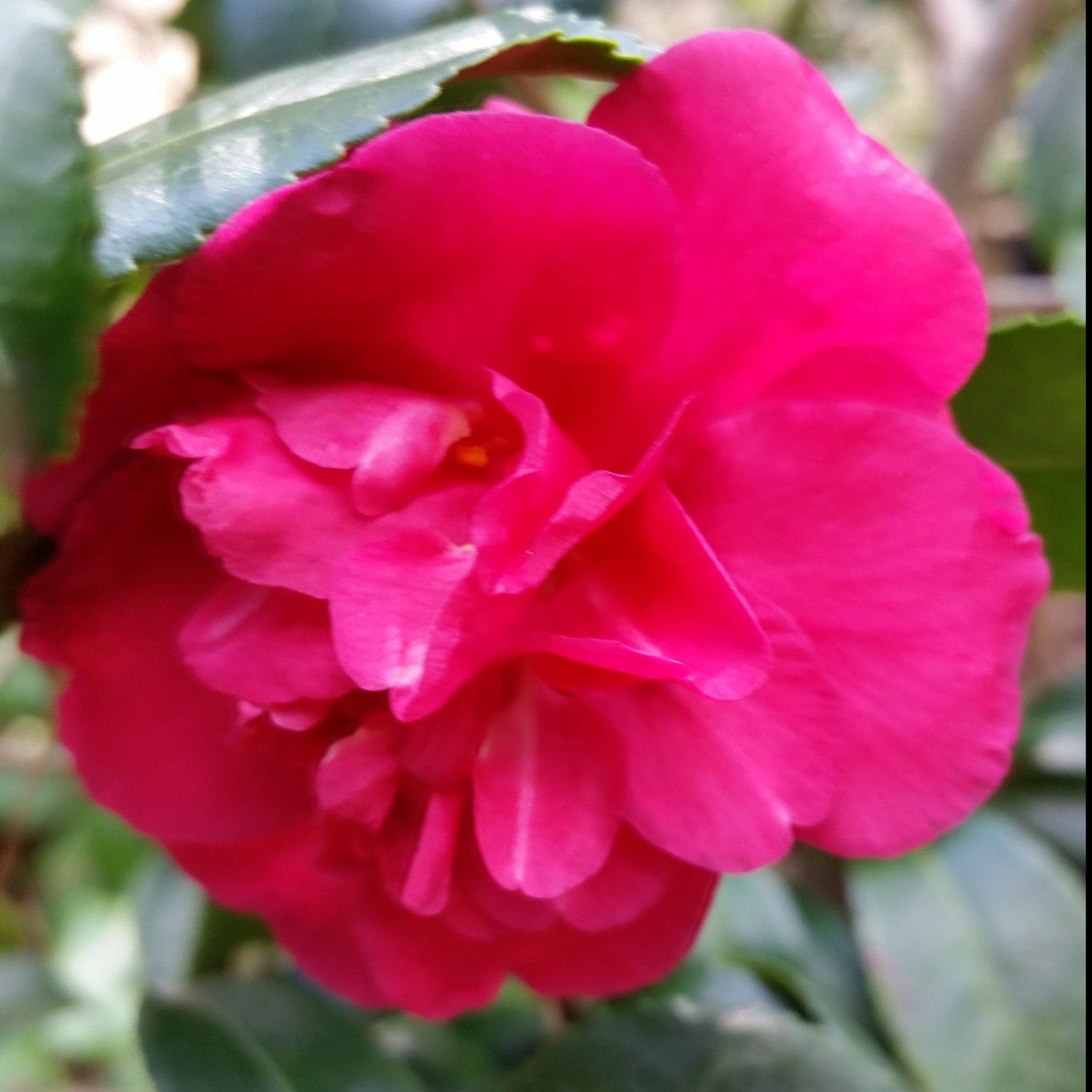 Camellia Alabama Beauty- Stunning Rosy-Red Blooms. Blooms profusely in fall with rosy-red, semi-double flowers.