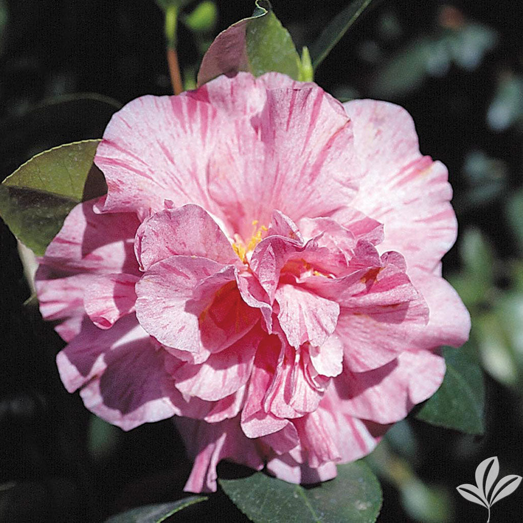 (3 Gallon) Camellia Kickoff Flower Plant - Dark Pink, Large Bloom