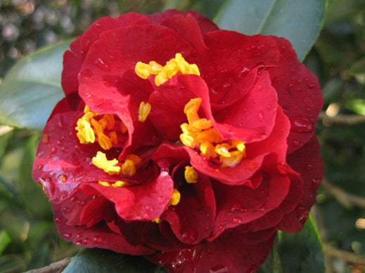 (3 Gallon)    Camellia Maroon & Gold Flower Plant - Attractive Maroon