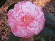 (3 Gallon) Camellia Rena Swick Variegated Flower Plant - Gorgeous Pink & White