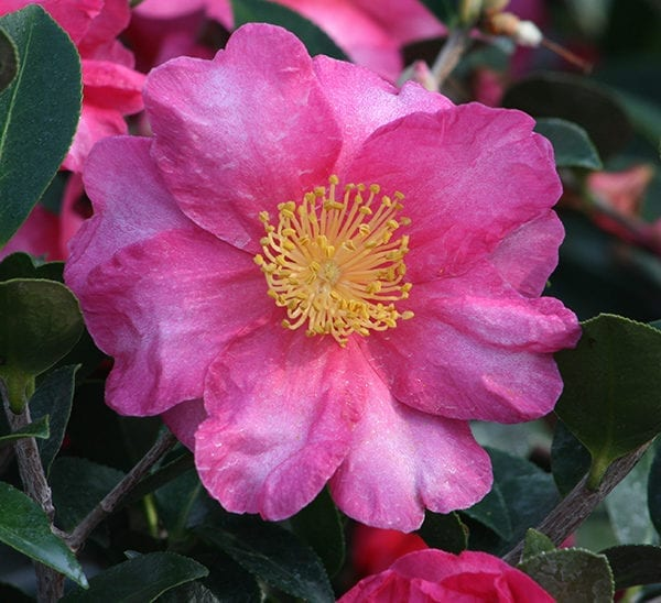 Camellia SHISHI GASHIRA gorgeous dwarf semi-double HOT pink blooms(FALL/WINTER BLOOM)