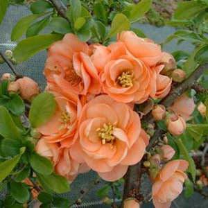 (1 Gallon) CAMEO Flowering Quince Unique and GORGEOUS Soft Peach Pink Flowers.Attractive Shrub. One of the Earliest Spring Blooms