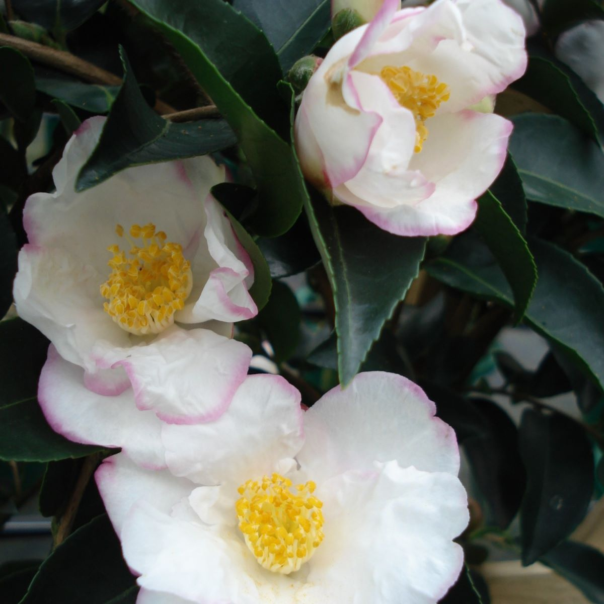 (3 gallon) Camellia 'Yoi Machi'', gorgeous white petals with pale pink margins, blooms in Fall/winter