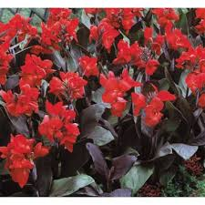 Canna Cannova® Bronze Scarlet Canna Lily - low maintenance and easy to grow, and both their flowers and foliage offer long-lasting color in the garden.