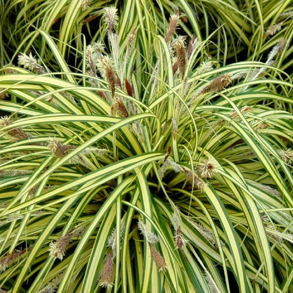 Carex oshimensis Evergold Sedge - Striped Weeping Sedge, has narrow, weeping foliage that is variegated - creamy white with green margins.