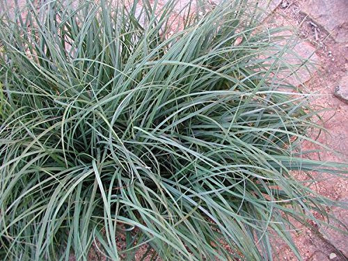 Carex flacca (a.k.a glauca) has narrow, blue-green to blue-gray foliage._Reserve_Now