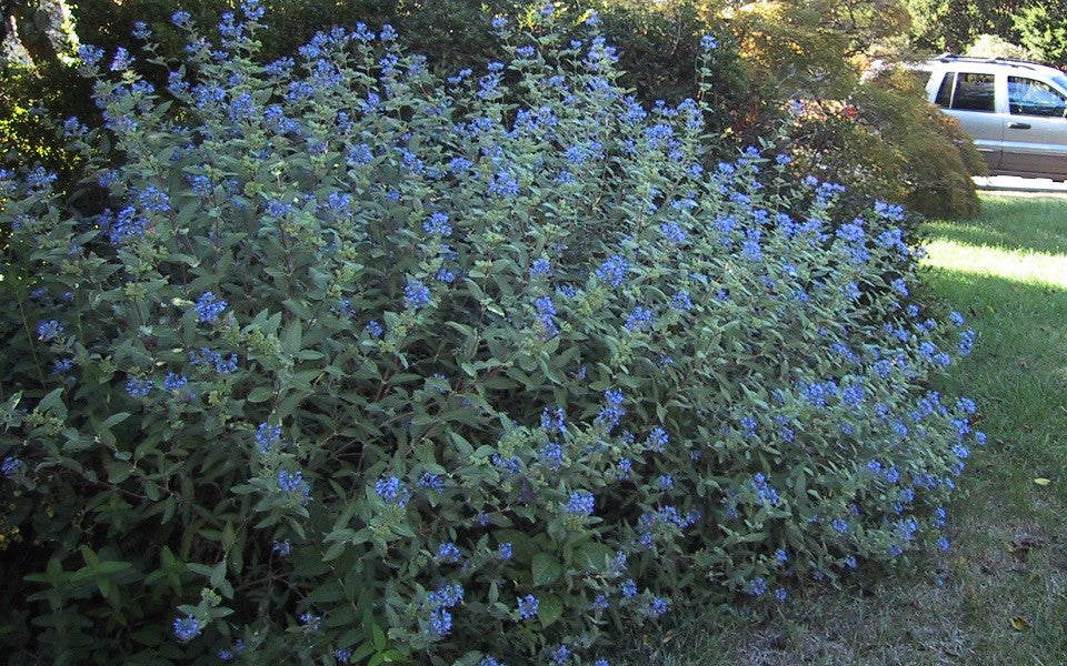 (1 gallon) Longwood Blue Caryopteris - Gorgeous Blue Green, Grey / Silver blooms. Very Fragrant. Blue mist shrub is aptly named as it is covered in a cloud of blue from mid to late summer.