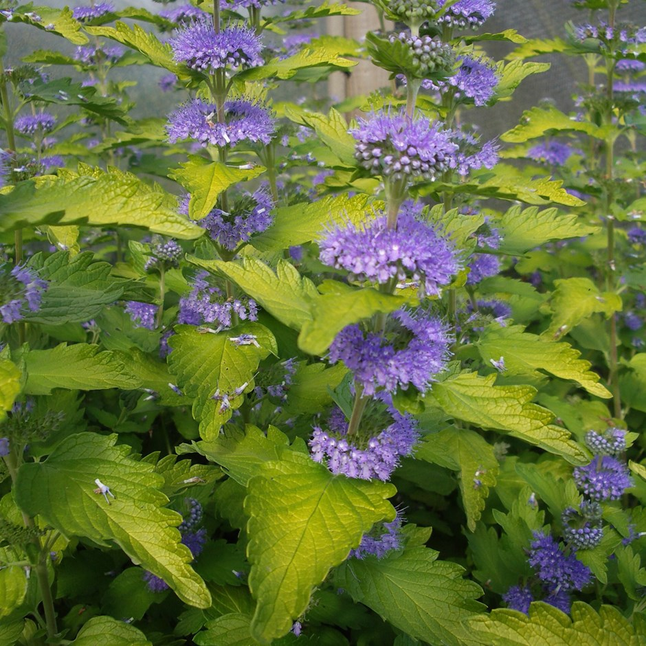 (1 gallon) CARYOPTERIS HINT OF GOLD - Gorgeous White Blooms and Glossy, Green Leaves. Very Fragrant.