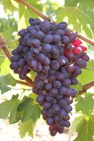 3 (Gallon) CHAMAPANEL Grape Vine Shrub, black Grapes, Excellent vartiety for WINE and juices, RESISTANCE TO root rot and Pierce disease.