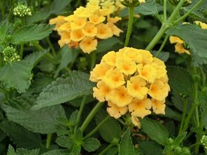 1 Gallon Pot: Lantana x 'New Gold'. Lantana. Bright, deep yellow flowers bloom May to October