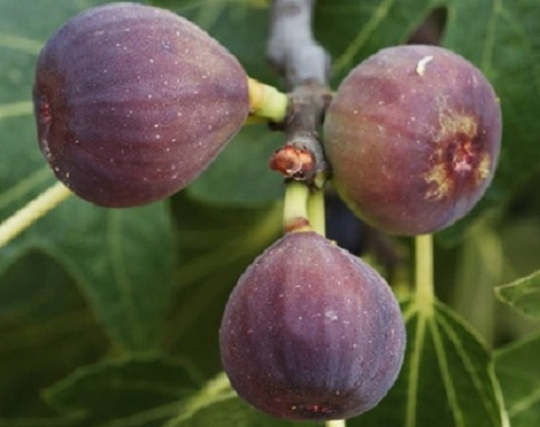 CELESTE FIG TREE,YIELDS HUGE QUANTITIES OF HIGH-QUALITY MEDIUM-SIZED DELICIOUS, SWEET FRUIT THAT HAVE A SHINY PURPLISH BRONZE SKIN AND PINK-AMBER FLESH.