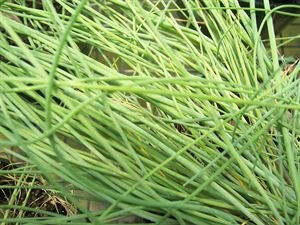 "(10 Count Flat - 4"" Pots) CHIVES Herb Plant: (Edible) Slender dark green leaves and lavender globes of flowers in June."