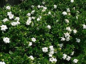 CHUCK HAYES Gardenia - Gorgeous White Blooms and Glossy, Green Leaves. Very Fragrant.