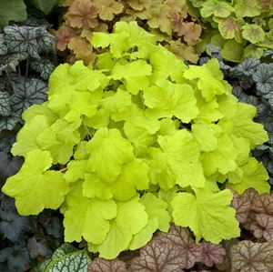 Quart Pot/10 Count Flat: Heuchera 'Citronelle' PP17934 Coral Bells, Alumroot. Citron yellow leaves and cream flowers in mid-summer.  Best in shade.