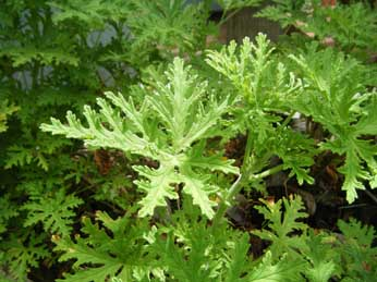 "(5"" Pot) Citronella Geranium (Mosquito Plant) - Repels Mosquitoes, Attractive Green Foliage with Lemony Scent, Good Indoors and Outdoors"
