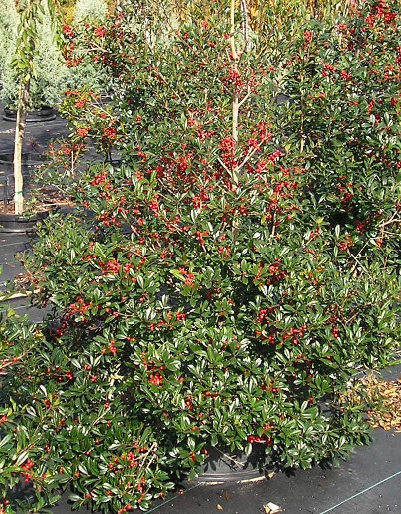 (3 gallon) Cleyera japonica - No-Care Privacy Screen or As A Sound Barrier. Large Hedge Shrub That Tolerates Shade. Orange-Red New Foliage Matures to Lush, Deep Green. Evergreen. PIXIES_DUD