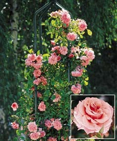 (3 gallon) Climbing Queen Elizabeth Rose (Rosa)- Climbing Queen Elizabeth  roses are ever-blooming, producing large silver-pink double blooms in clusters on vigorous long stems from May till Fall