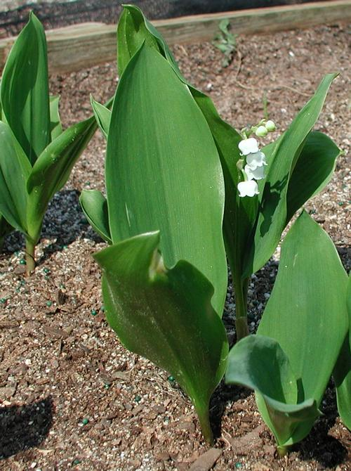 "Convallaria majalis - Lily of the Valley very fragrant pure white bell shaped flowers blooms on racemes up to 12"" tall._Reserve_Now"