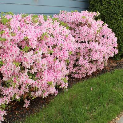 Robin Hill Conversation Piece' AZALEA, Stunning Blooms Range from Dark Pink To Pale Pink. Rich Green Foliage On Shapely, Mounding Plants