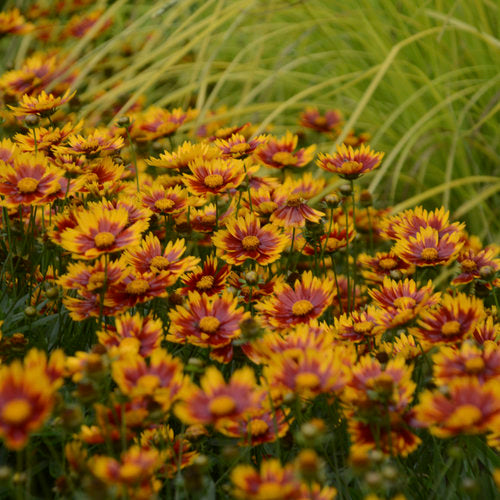 Quart Pot/10 Count Flat: Coreopsis Li'l Bang 'Daybreak' PP27138. Tickseed. Compact mound of basal green foliage supports masses of bi-color blossoms with orange-red center and gold petal tips. Disease resistant and reblooms without deadheading. Will be