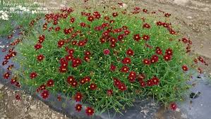 Quart Pot/10 Count Flat: Coreopsis 'Mercury Rising' PP24689.Narrow, bright green leaves covered with velvety wine-red bloom and golden orange buttons in the centers; blooms early summer through frost. No need to deadhead!
