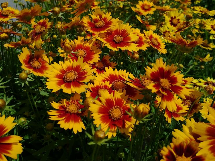 (Quart Pot): Coreopsis Uptick® 'Gold & Bronze' PPAF Tickseed. Large gold flowers with a bronze center. Mounding habit. Disease resistant.