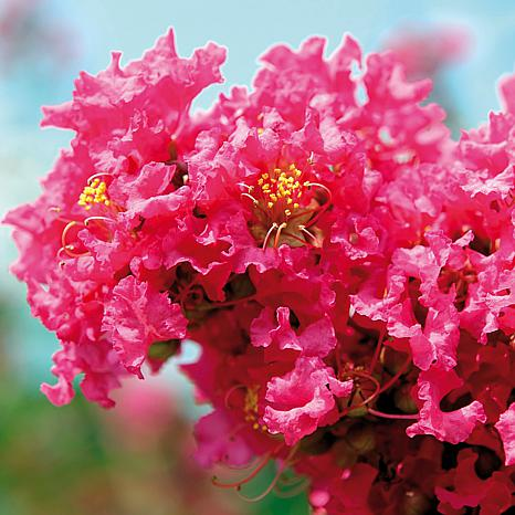 (1 Gallon) PINK CRAPE MYRTLE-sensational pretty Rose pink blossoms,exceptionally fast grower