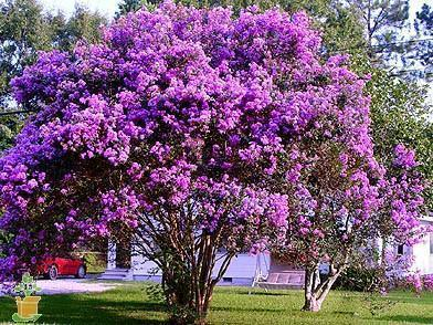 (1 Gallon) 'Catawba' Crape Myrtle, clusters of deep Purple Flowers