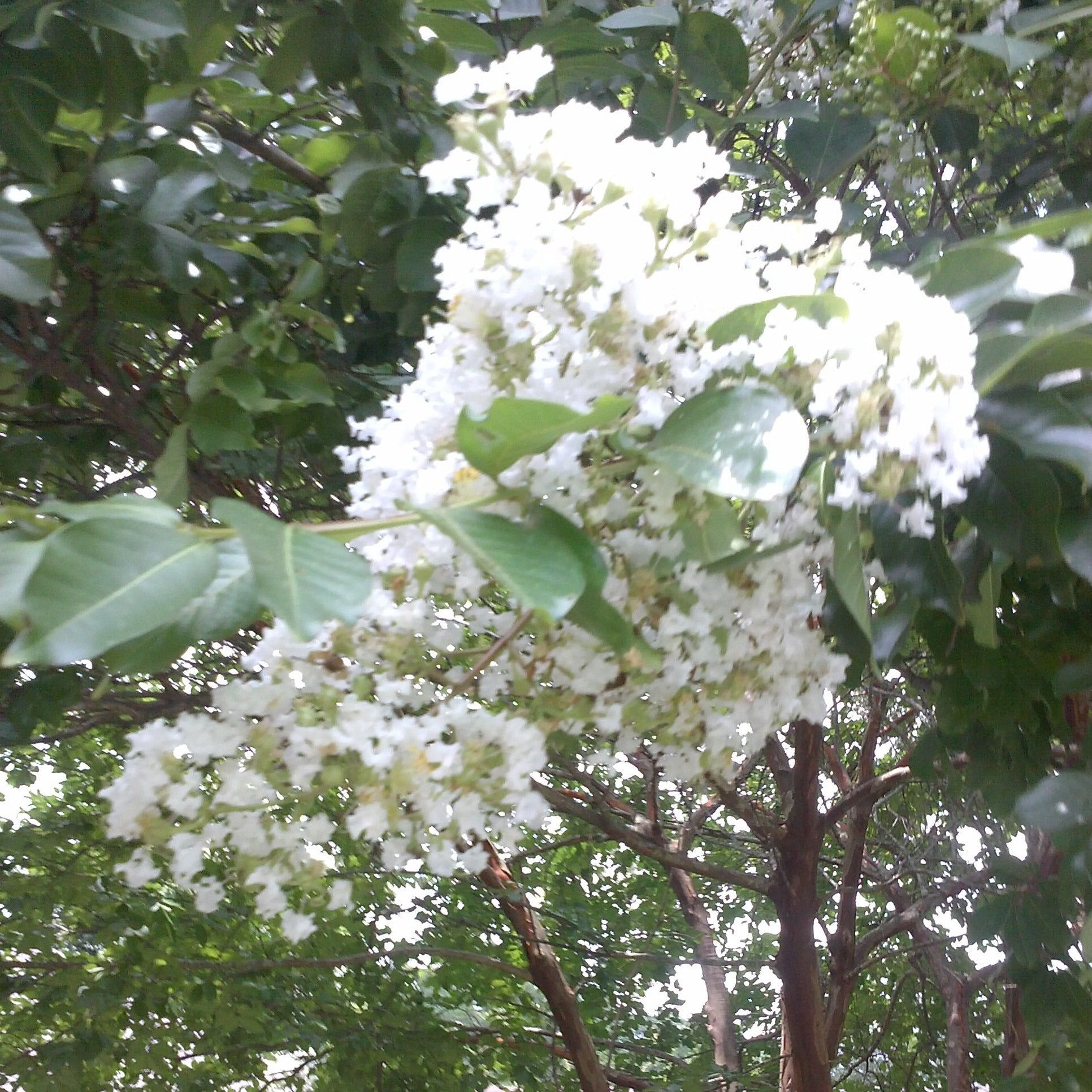 (1 gallon)   SARAHS FAVORITE' Crape Myrtle, Gorgeous WHITE Flowers, bears large, loose clusters of crinkly white flowers on almost every branch.