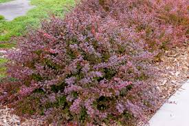 "(3 Gallon)    CRIMSON PYGMY"" BARBERRY, Gorgeous, Deep Crimson Foliage, Dwarf, Compact and Very Colorful Shrub, Thorny, Which Helps Protect Them From Animal Damage."