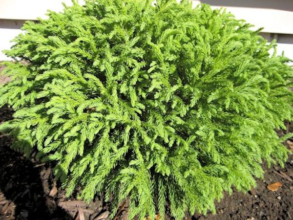GLOBOSA NANA- Dwarf EXQUISITE Japanese Cedar, Dense, Dome Shaped Foliage, Droopy, Weeping look. EVERGREEN PIXIES_DUD