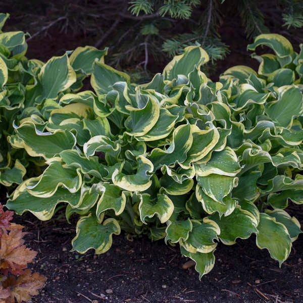 1 Gallon Pot: Hosta Shadowland® 'Wheee!' PP23565. Plantain Lily. Extremely ruffled; cream margins extend from the tip of each leaf all the way down the petiole to the crown; light lavender flowers in midsummer.