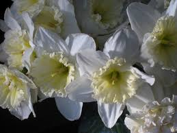 "(Pack of 5 BULBS)    Daffodil, ICE FOLLIES BULBS)  Strikingly Beautiful and Unusually Large (to 4"" across) Flowers, White Petals with Lemon Yellow Cup That Turns Creamy White."