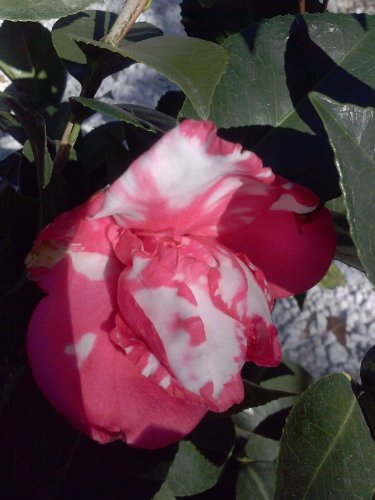 (3 gallon) Camellia 'Pink Serenade' lovely small pink formal blooms, Light pink, deeper at edge to white with pink center and border,