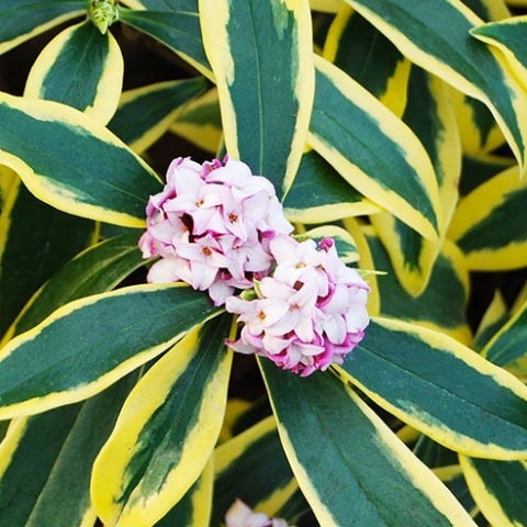 (1 Gallon) Daphne odora, Marianni - Marginated pink, (FALL/WINTER BLOOMING) Fragrant Pink Blooms. Gorgeous Shade Plant. Delicate Cream Outline on the Outter Edge of Green Foliage.