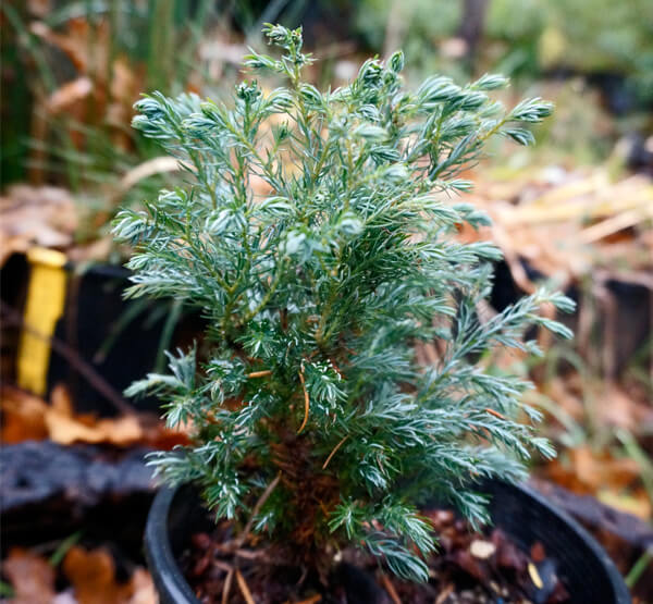 (1 Gallon) Fat Albert- Outstanding evergreen rich blue needles on a densely branched, naturally pyramidal form. Good use for a landscape specimen.