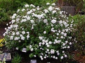 "Igloo Viburnum is a deciduous Shrub That Produces Masses of Beautiful White 4"" lacecap Flower Clusters in May Giving it The Appearance of an Igloo."