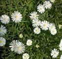 "4.33"" Pot/10 Count Flat: Delosperma Jewel of Desert 'Moonstone' PP23491 Iceplant. Long lasting white daisylike flowers with yellow centers. Mat forming; blooms spring to frost."