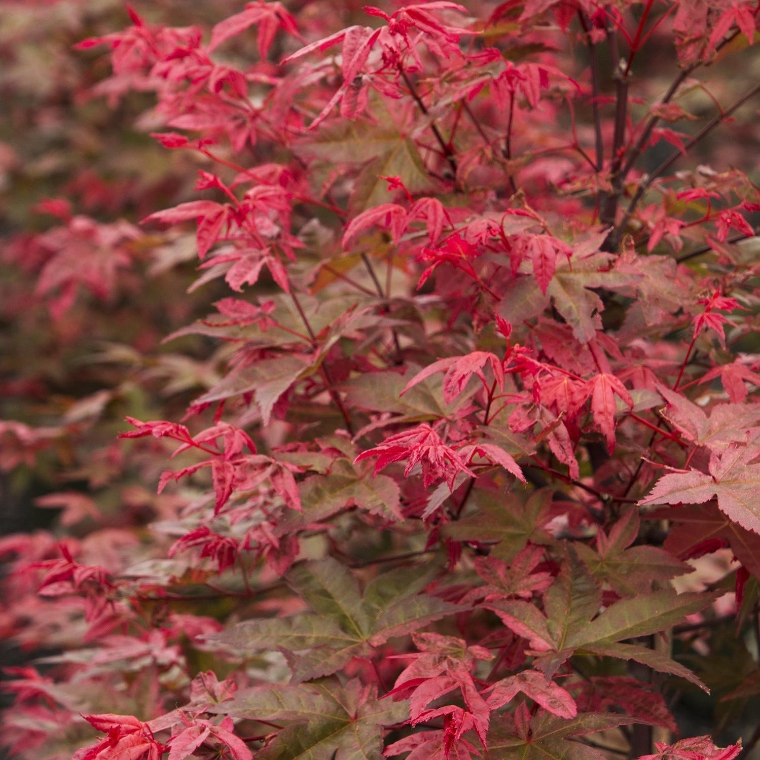 Shin Deshojo Japanese Maple-A thrilling, densely-branched, small tree with highly dramatic foliage color. Spring leaves are brilliant salmon-red, green in midsummer,