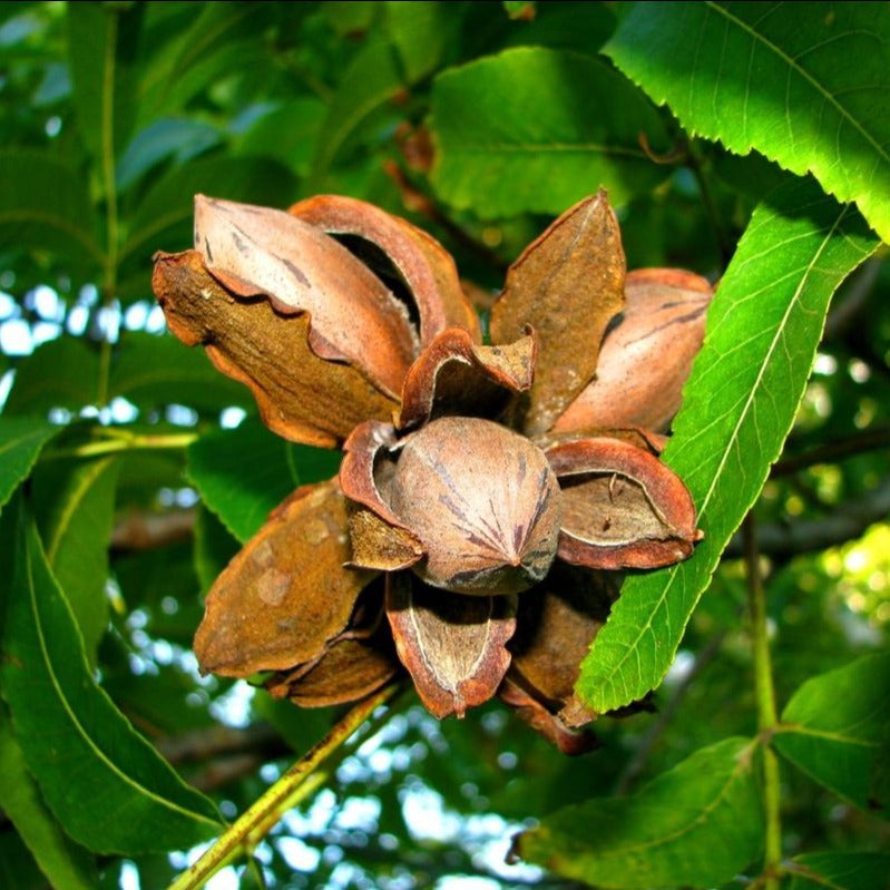 Desirable Pecan Tree produces a very large papershell nut that are easily cracked in the hand like a peanut.