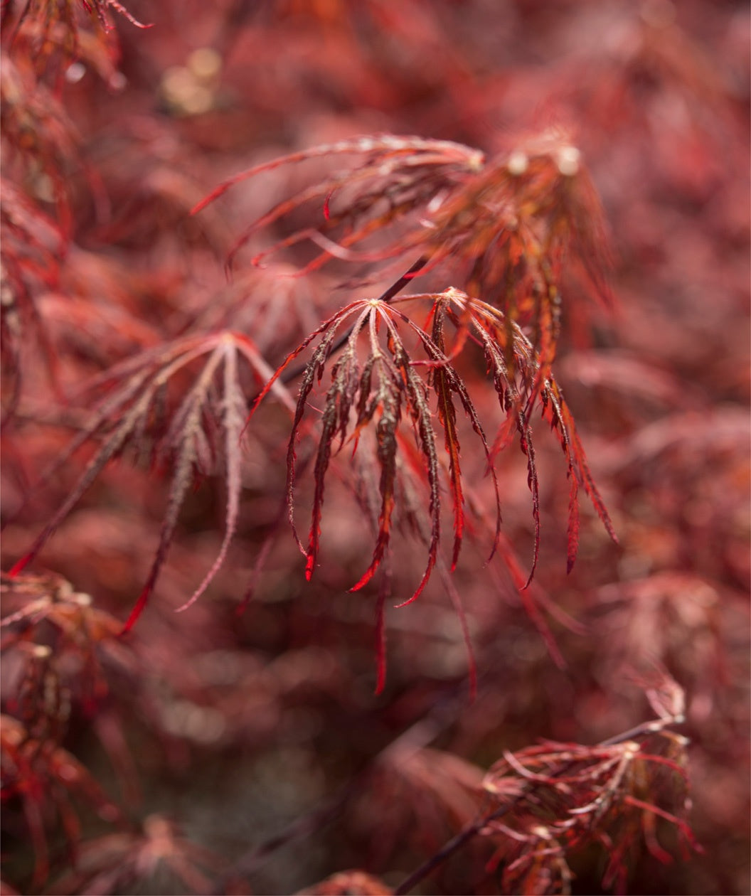 CRIMSON PRINCESS Japanese Maple-remarkable tree with a deep-red lace leaf foliage.