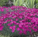 Quart Pot/10 count flat: Dianthus x 'Neon Star' PP14549. Border or Cheddar Pinks. Blue-gray foliage, with magenta blooms, repeat bloomer. Salt tolerant. PIXIESDS_EGN