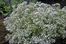 (1 Gallon) Gypsophila paniculata Festival Star Baby's Breath Proven Winners® - Baby's Breath becomes a bright cloud of white flowers and is among the most attractive and useful of all perennials.